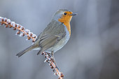 European Robin (Erithacus rubecula), adult perched on a stem coverd with frost, Campania, Italy