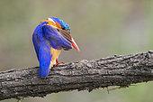Malachite Kingfisher (Corythornis cristatus), adult preening on a branch, Mpumalanga, South Africa