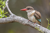 Brown-hooded Kingfisher (Halcyon albiventris), adult female perched on a branch, Mpumalanga, South Africa