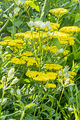 Achillea filipendulina 'Cloth of Gold', Astrancia major