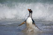 Gentoo penguin (Pygoscelis papua), running out of the water, Falkland Islands, South America