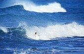Gentoo penguin (Pygoscelis papua papua) surfing waves, Sea Lion Island, Falkland Islands, South Atlantic, South America