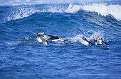 Gentoo Penguins (Pygoscelis papua papua), colony swimming together, Falkland Islands, South Atlantic, South America