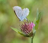 Little Blue (Cupido minimus) female laying eggs on Red clover (Trifolium pratense) Vosges du Nord Regional Natural Park, France