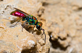 Cuckoo wasp (Chrysura hybrida) looking for gallery of osmias in the rocks, Vosges du Nord Regional Natural Park, France