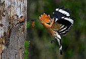 Hoopoe (Upupa epops) male feeding the female in the nest, Vosges du Nord Regional Natural Park, France