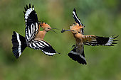 Hoopoe (Upupa epops), passage of prey between male and female in flight, Vosges du Nord Regional Natural Park, France
