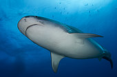 Low angle view Tiger Shark (Galeocerdo cuvier), Tahiti, French Polynesia
