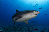 Close view Tiger Shark (Galeocerdo cuvier), Tahiti, French Polynesia