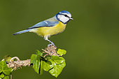 Eurasian Blue Tit (Cyanistes caeruleus), side view of an adult perched on an Ivy branch, Campania, Italy