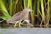 Black-crowned Night Heron (Nycticorax nycticorax), juvenile standing in the water, Campania, Italy