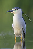 Black-crowned Night Heron (Nycticorax nycticorax), front view of an adult standing in the water, Campania, Italy