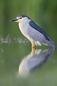 Black-crowned Night Heron (Nycticorax nycticorax), side view of an adult standing in the water, Campania, Italy