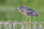 Black-crowned Night Heron (Nycticorax nycticorax), side view of a juvenile standing in the water, Campania, Italy