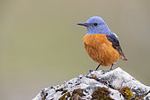 Common Rock Thrush (Monticola saxatilis), front view of an adult male perched on a rock, Abruzzo, Italy