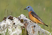 Common Rock Thrush (Monticola saxatilis), side view of an adult male standing on a rock, Abruzzo, Italy