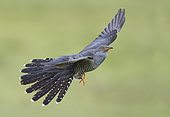 Cuckoo (Cuculus canorus) displaying while flying, England