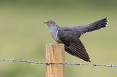 Cuckoo (Cuculus canorus) perched on a fence post, England