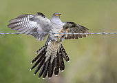Cuckoo (Cuculus canorus) landing on barbed wire, England