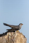 Cuckoo (Cuculus canorus) perched on a dead tree, England