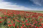 "Rapeseed field ""colonized"" by poppies on the Opal Coast, spring, Hauts de France, France"