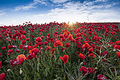 Poppies field on the Opal Coast, spring, Hauts de France, France