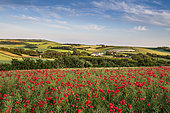 Poppy field on the Opal Coast, Hervelinghen, spring, Hauts de France, France