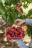 Picking bigarreau cherries 'Burlat', spring, Pas de Calais, France