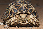 Kalahari Tent Tortoise, Psammobates oculifer, Kalahari Basin, Namibia