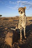 Male subadult Cheetah (Acinonyx jubatus), Kalahari Basin, Namibia