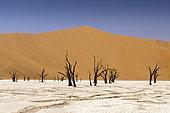 Dead Acacia Trees in Deadvlei Pan, Namib Naukluft Park, Namibia
