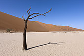 Dead Acacia Trees in Hiddenvlei, Namib Naukluft Park, Namibia
