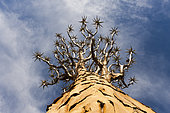 Tree crown of a Quivertree, Aloidendron dichotomum, Keetmanshoop, Namibia
