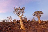 Quivertree Forest at Sunset, Aloidendron dichotomum, Keetmanshoop, Namibia