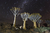 Milky Way over Quivertree Forest at Night, Aloidendron dichotomum, Keetmanshoop, Namibia