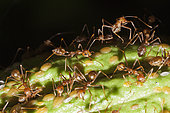 Ants on Cacao Fruit, Formicidae, Kimbe Bay, New Britain, Papua New Guinea