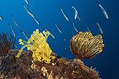 Crinoids in Coral Reef, Comanthina schlegeli, Kimbe Bay, New Britain, Papua New Guinea