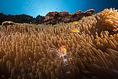 Pink anemonefish in Sea anemone, Amphiprion perideraion, Kimbe Bay, New Britain, Papua New Guinea