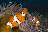 Clown Anemonefish, Amphiprion ocellaris, Kimbe Bay, New Britain, Papua New Guinea