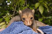 Young Common spotted cuscus, Spilocuscus maculatus, New Ireland, Papua New Guinea