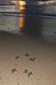 Hawksbill Sea Turtle hatchlings on their way into the sea, Eretmochelys imbricata, New Ireland, Papua New Guinea