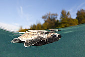 Hawksbill Turtle hatchling paddles away from shore, Eretmochelys imbricata, New Ireland, Papua New Guinea