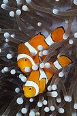 Clown Anemonefish (Amphiprion ocellaris), New Ireland, Papua New Guinea