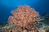 Godeffroys Soft Coral, Siphonogorgia godeffroyi, New Ireland, Papua New Guinea