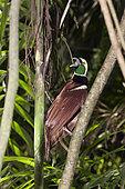 Raggiana Bird of Paradise (Paradisaea raggiana) male on a branch, Papua New Guinea