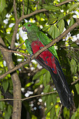 Papuan King Parrot (Alisterus chloropterus) on a branch, Papua New Guinea