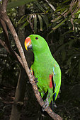Eclectus Parrot (Eclectus roratus) male on a branch, Papua New Guinea