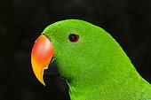 Eclectus Parrot (Eclectus roratus) male, Papua New Guinea
