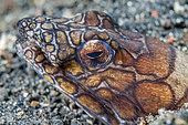 Napoleon snake eel (Ophichthus bonaparti), Lembeh Strait, Indonesia.