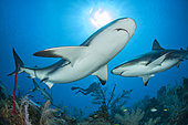 Caribbean reef shark (Carcharhinus perezi) swimming over the reef, in the Queen's Gardens National Park, Cuba